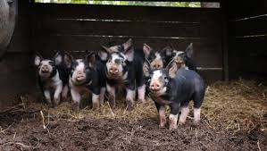 Berkshire Hogs — Whitney Creek Farm